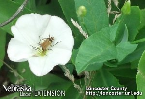 Soldier beetle in a field bindweed flower