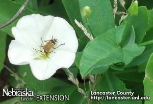 Soldier beetle in a field bindweed flower
