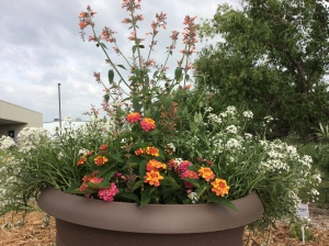 Sweet alyssum, Mexican giant hyssop & lantana in containers near habitat entrance.