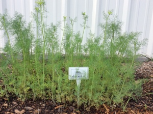 Dill is an excellent larval plant for Swallowtail butterflies.
