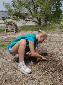 Planting sunflower seeds in pollinator habitat for the Great  Sunflower Project.