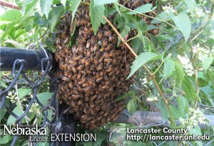 Honey bees swarming July 2014 in Lincoln, Nebraska. Photo by Barb Ogg, Exxtension Educator