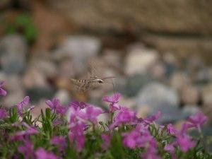 Moths are pollinators too! Hummingbird Moth feeding