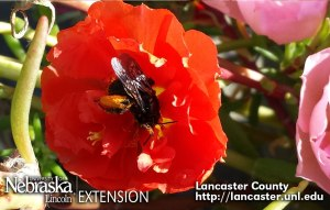 Blue Orchard Mason Bee - Look at all the pollen!