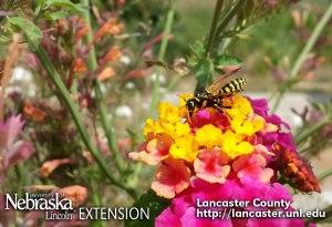 Wasp feeding on nectar - Cherry Creek Habitat