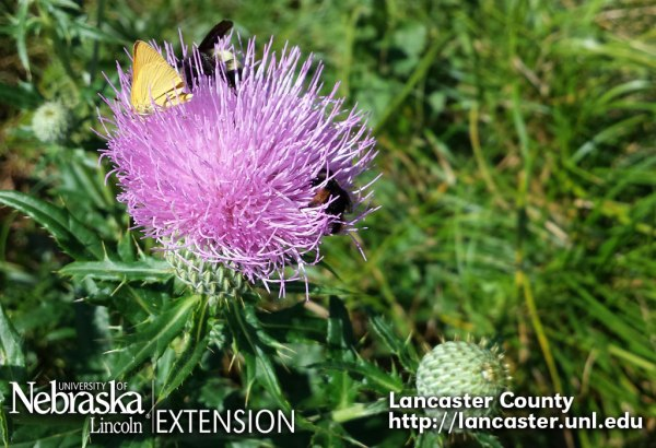 Native thistles are both beautiful and important to our pollinators.