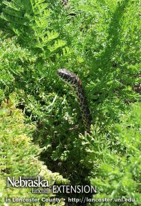 Baby bullsnake in the yarrow