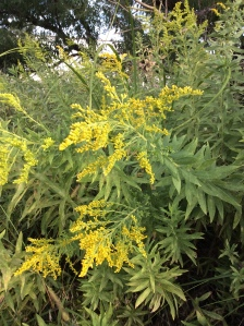 Goldenrod in the Cherry Creek habitat.