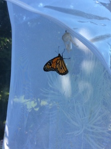 Monarch butterfly ready to leave rearing tent.