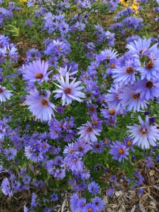 Smooth aster in the habitat.