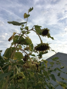 Sunflower heads are drooping and heavy with seeds.