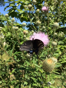 Black swallowtail butterfly on tall thistle.