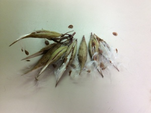 Swamp milkweed seeds.