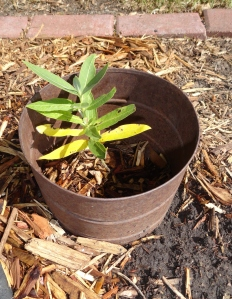 Common milkweed planted where I took out shrub that had severe winter injury.
