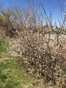 Wild plum blooming near pollinator habitat.