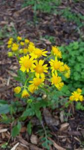 Prairie ragwort blooming now in the Cherry Creek Habitat.