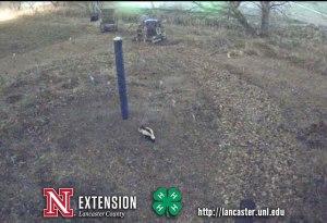 One of the regulars in the Cherry Creek Habitat: a skunk