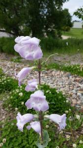 Penstemon grandiflorus  blooming in the habitat.