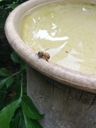 Honey bee visiting a birdbath.