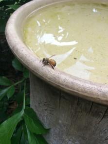 Honey bee visiting a birdbath.