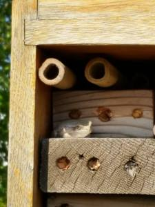 Tree frog resting in the solitary bee house.