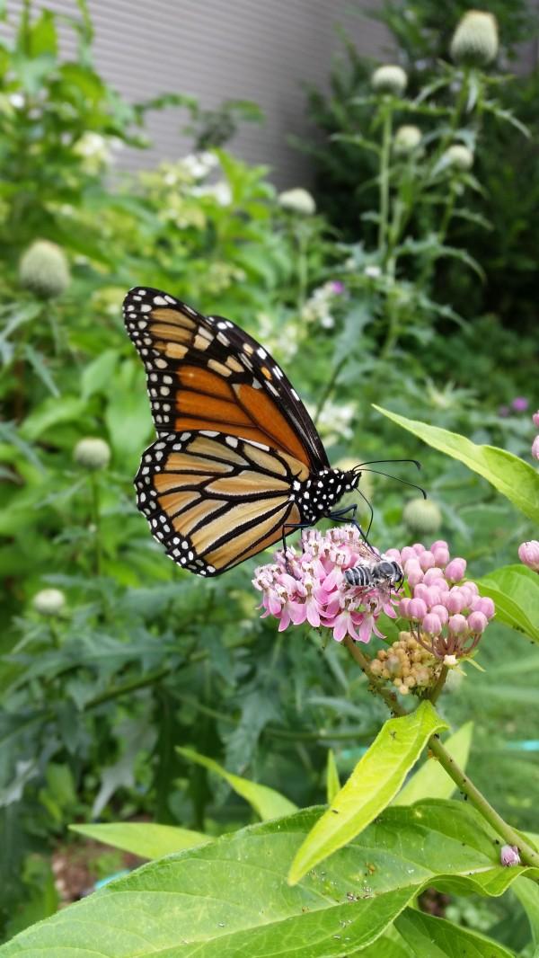 monarchswampmilkweed