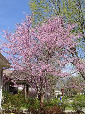 Eastern redbud tree.