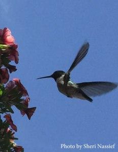HummingbirdSheri1
