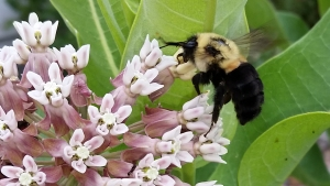 Bumblebee on a common milkweed in the habitat