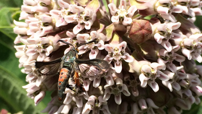 Squash Vine Borer Clearwing Moth on Common Milkweed