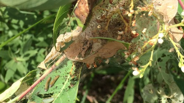 Fall Webworm on Dogbane