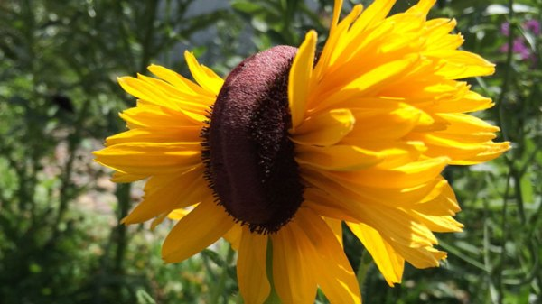 Fasciated Black-eyed Susan