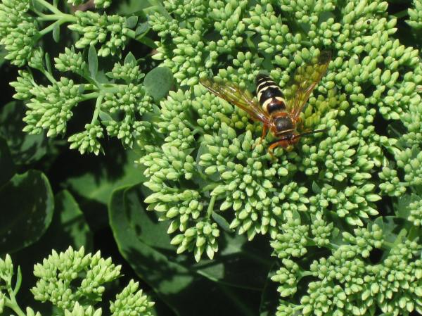 Cicada killer wasp is a large wasp on sedum