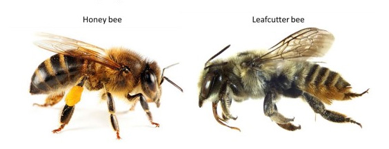 Figure 1 A Comparison Of Honey Bee And Leafcutter Notice The