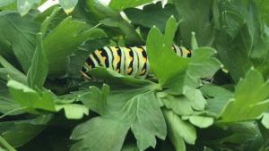Swallowtail butterfly caterpillar in parsley. Photo by Jody Green