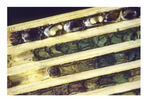 Figure 3: The inside of a leafcutter bee nest. There are cells lined up one after the other and each houses one individual. This is a precut board that is used to attract leafcutter bees to nest around your home.