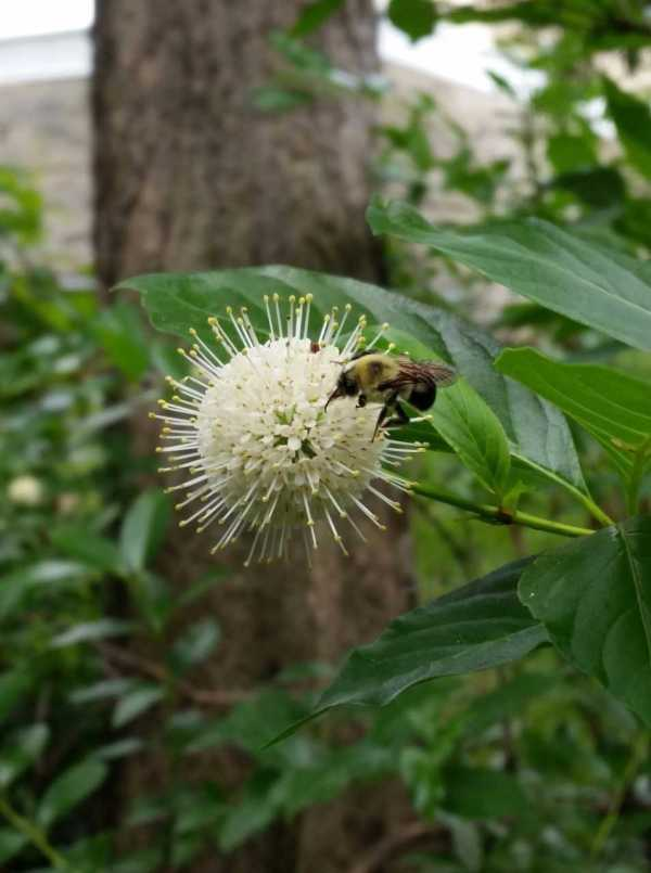 Bumblebee on Buttonbush flower.