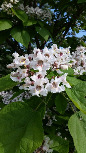 catalpaflower