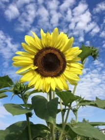 SunflowerBigSky14