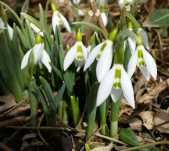 Snowdrops blooming 2018