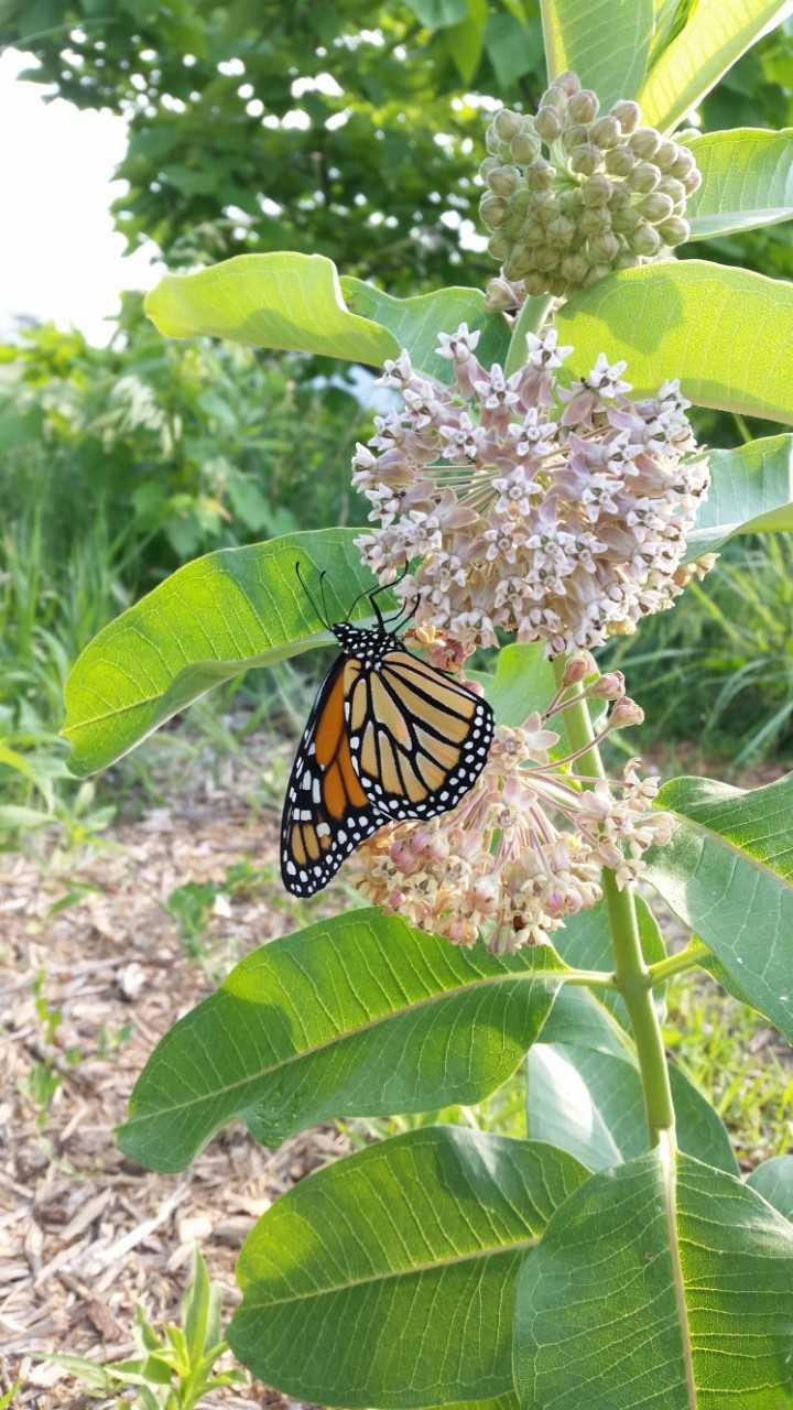 monarch61518