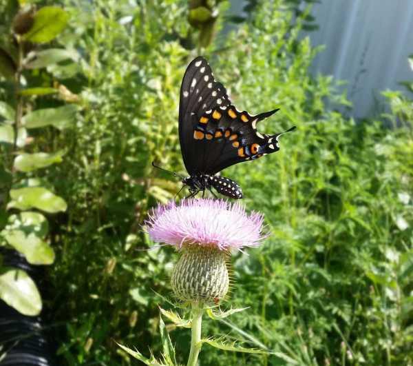 swallowtailbutterfly