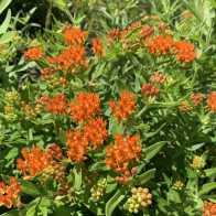 butterflymilkweed