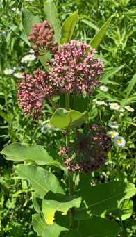 commonmilkweed