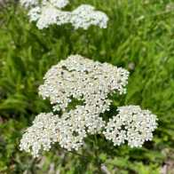commonyarrow
