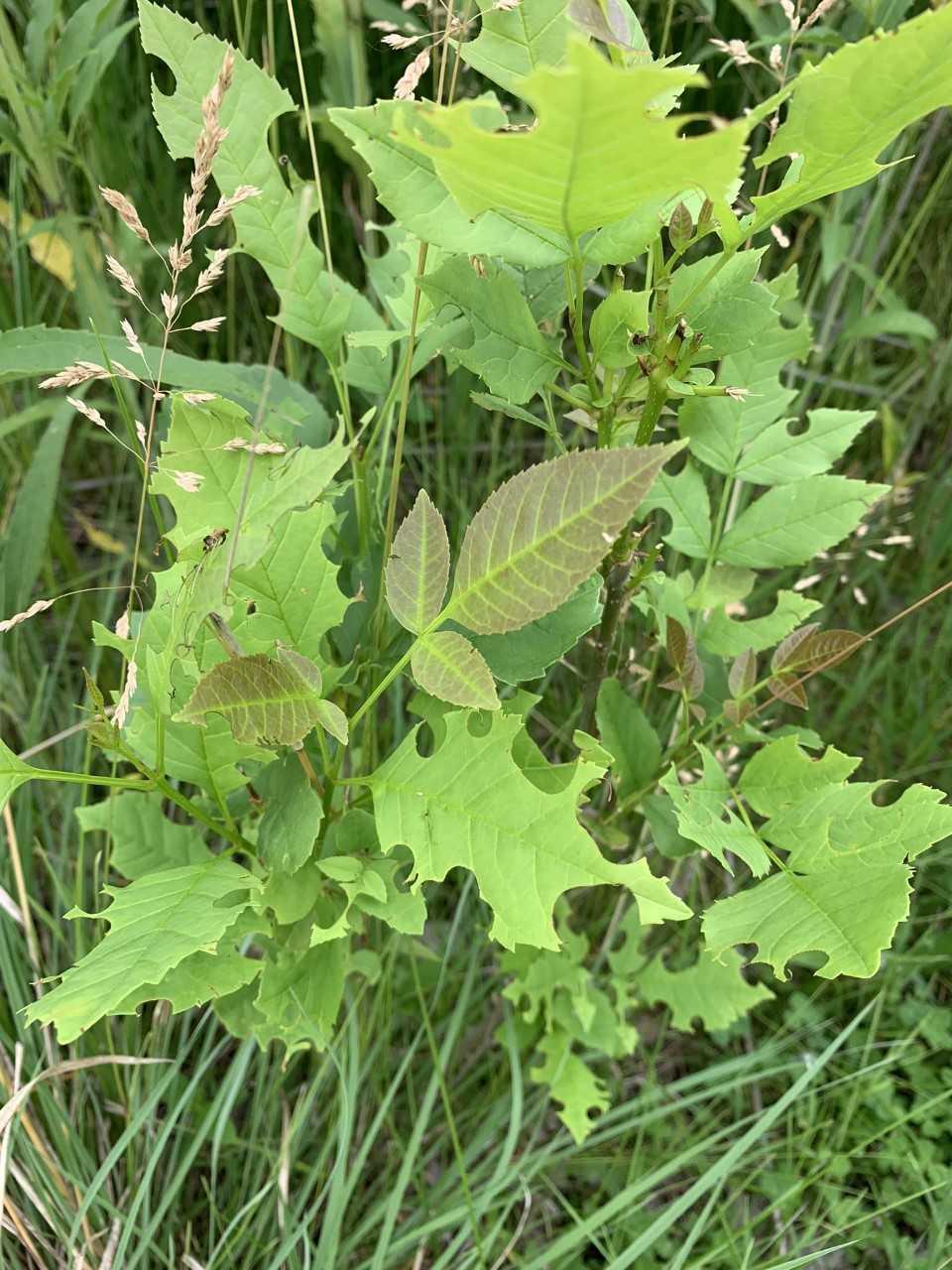 leafcutterbeesonAsh