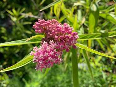 swamp milkweeds